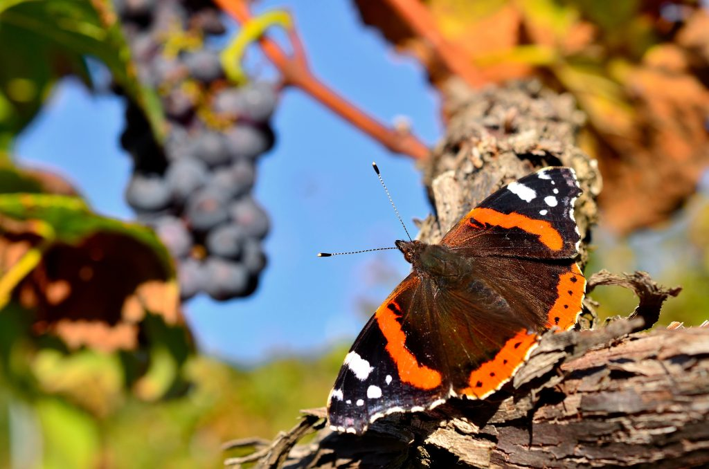 Schmetterling in den Weinreben
