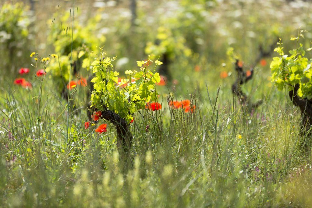 Weinreben Bioanbau